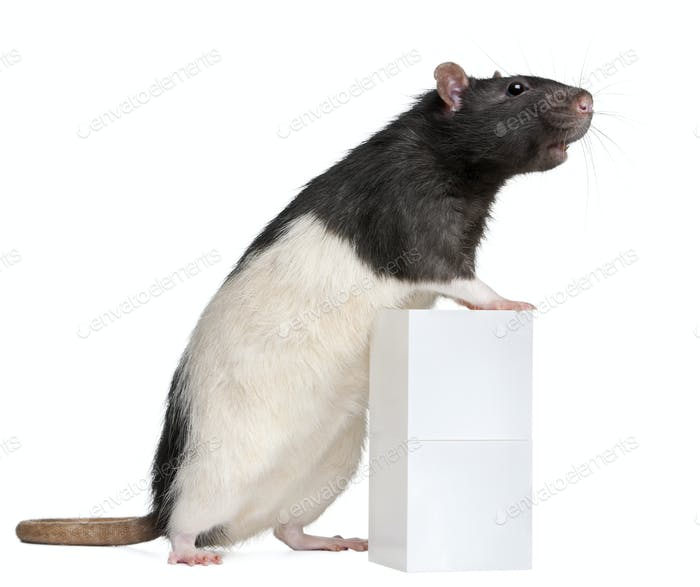 Fancy Rat, 1 year old, standing against box in front of white background