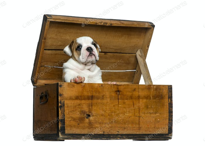 English bulldog puppy in a wooden chest in front of white background