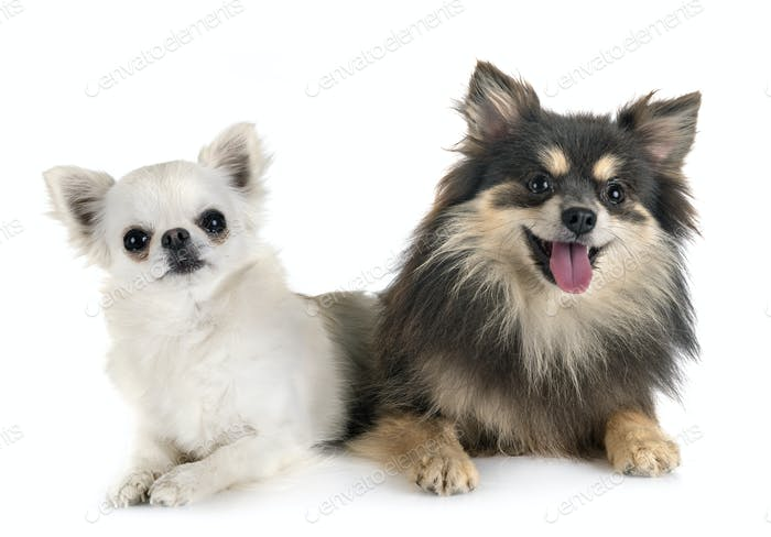 young pomeranian and chihuahua