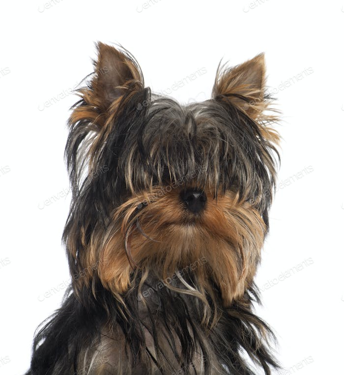Portrait of Yorkshire Terrier puppy, 5 months old, in front of white background