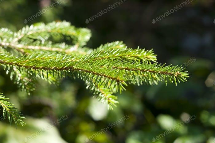 pine leaf