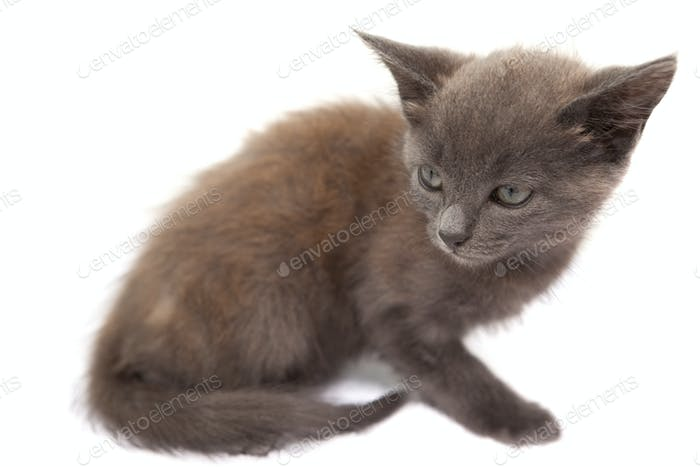 Grey kitten sitting on white background