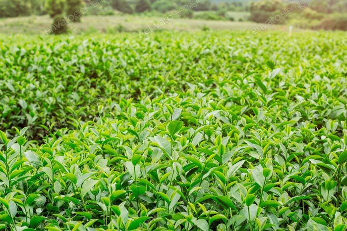 tea growing with natural background