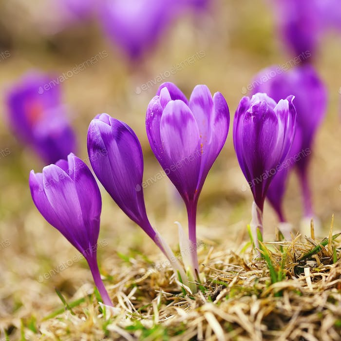 View of blooming spring flowers crocus growing in wildlife