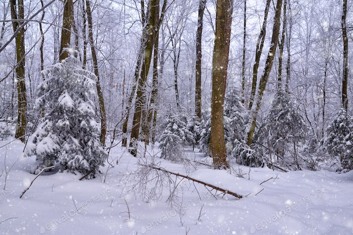 Winter forest in a frosty snowy day