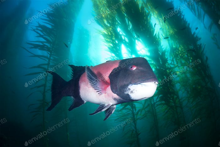 Sheephead in kelp