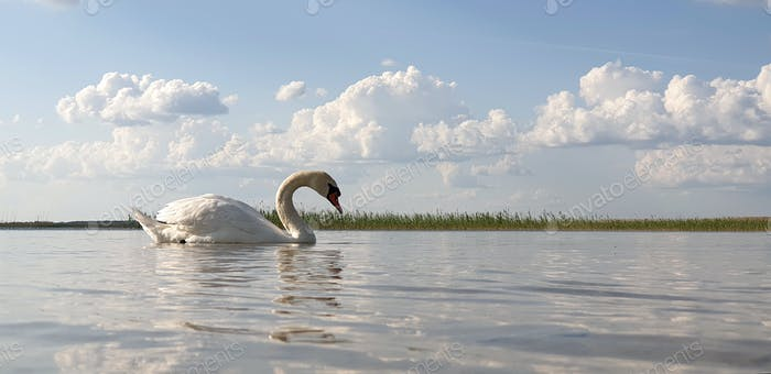 Beautiful white swan walks through the shallow