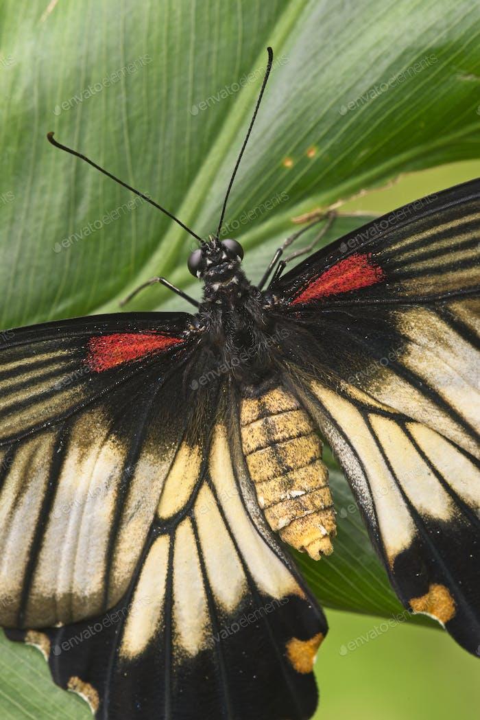 Nahaufnahme des tropischen Schmetterlings