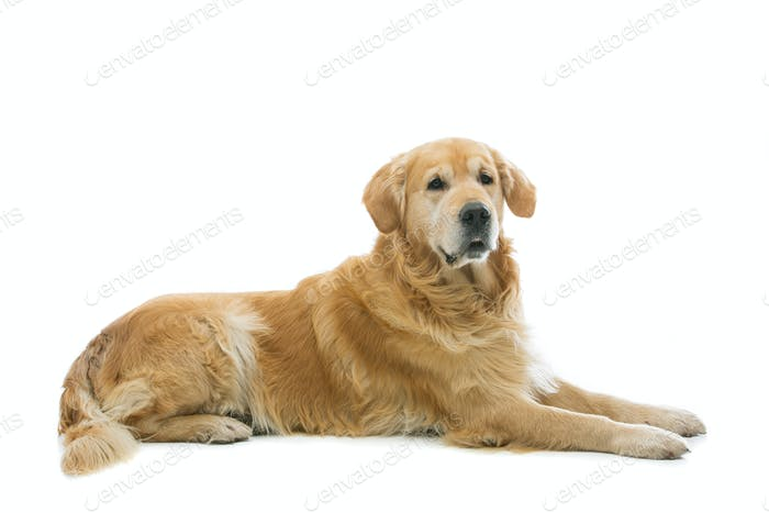 Old beautiul golden retriever dog