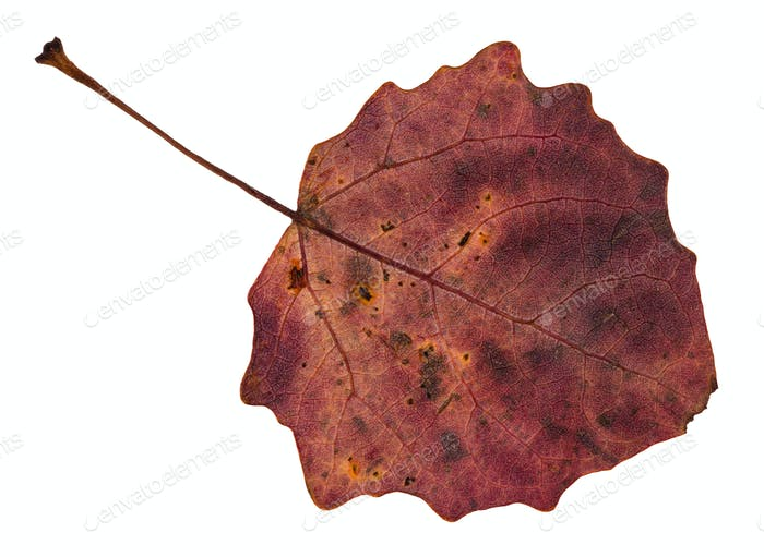 back side of red fallen leaf of aspen tree