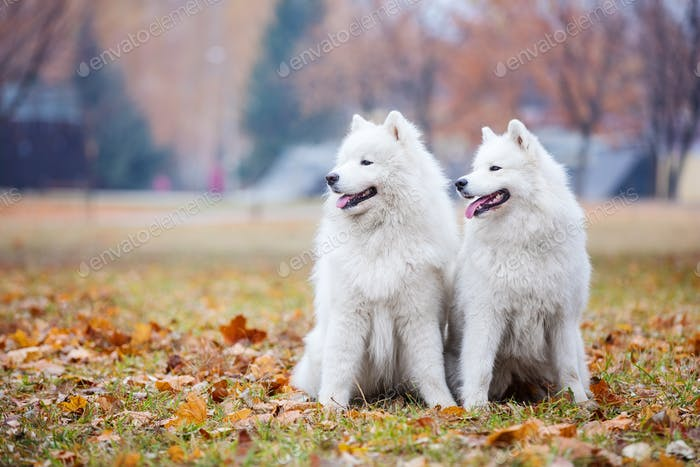 Male and female samoyed dogs in autumn park