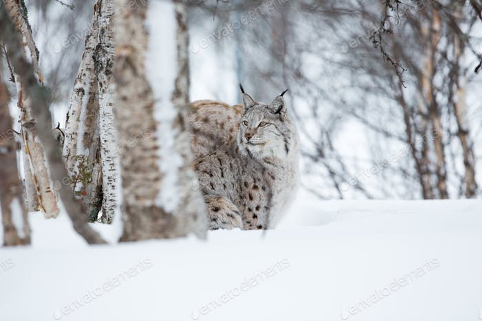 Lynx in winter forrest