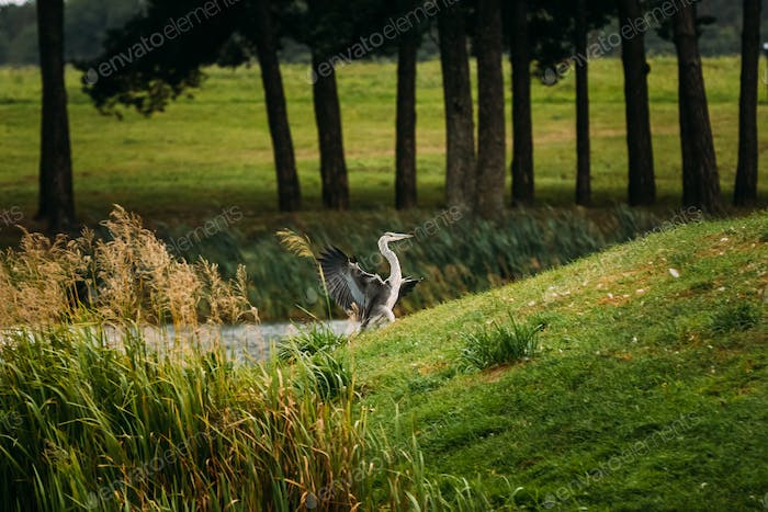 Grey Heron Bird Landing Or Taking Wing Or Spreading Its Wings On