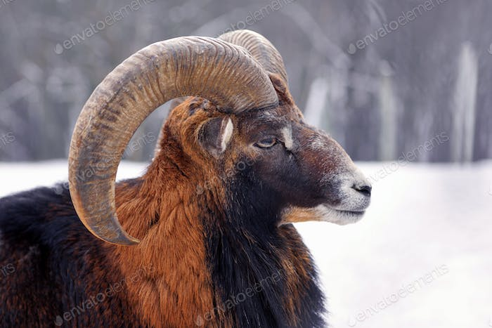 Mouflon Male (Ovis musimon). The portrait close up