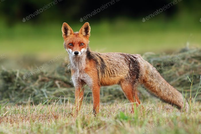 Attentive red fox facing camera on a freshly harvested hay field in summer