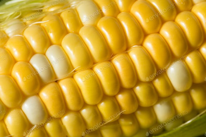 Raw Yellow Corn on the Cobb