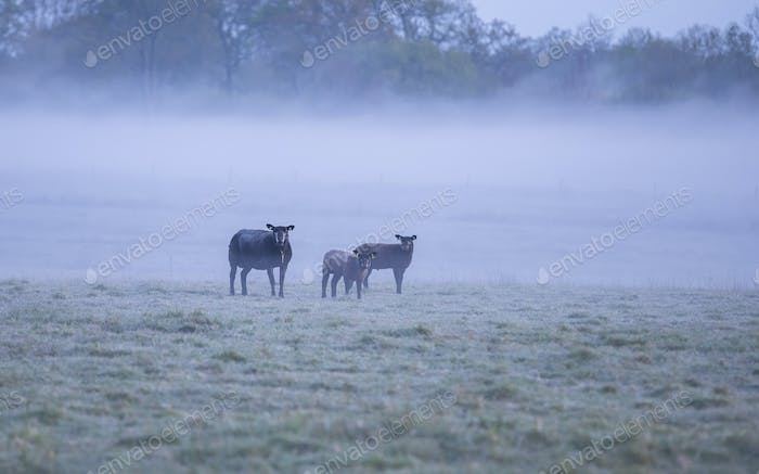 family of black sheep on misty pasture