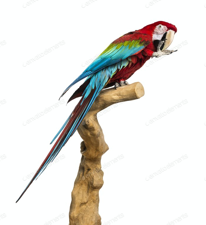 Red-and-green macaw perched on a branch and cleaning itself, isolated on white