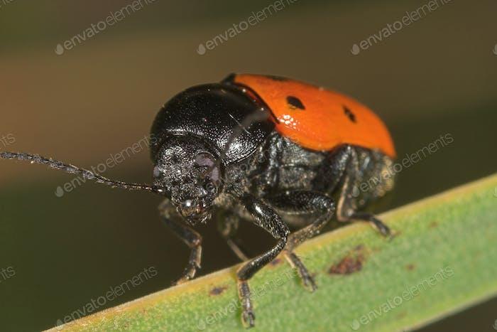 Beetle Crisomelido clytrinae