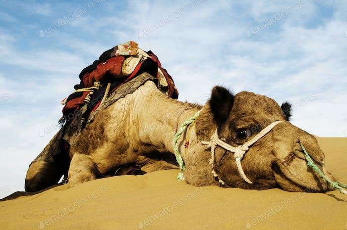 Cutest Camel Resting in the Desert