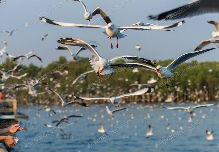 Möwen fliegen um Nahrung zu fangen