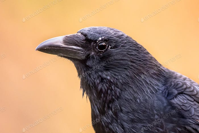Carrion crow portrait bright background