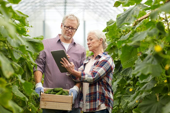 senior couple with cucumbers and tablet pc on farm