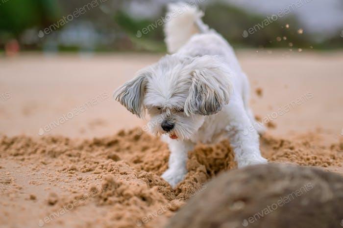 Ein kleiner süßer weißer Schoßhund spielt am Strand, der Sand spielt