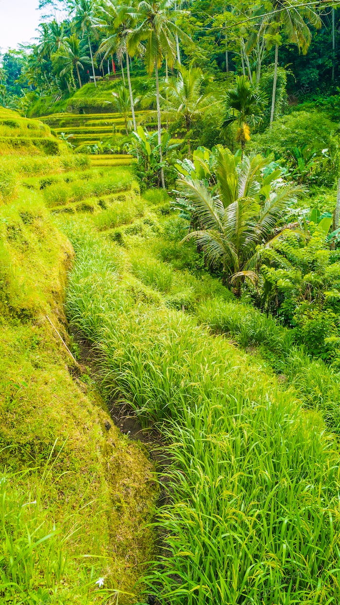 Tourist walking path along amazing tegalalang rice terrace fields with beautiful coconut palm trees