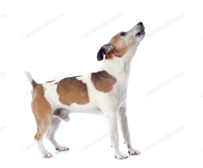 barking jack russel terrier