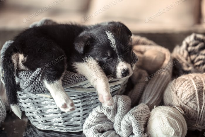 Little cute puppy lying with a sweater.