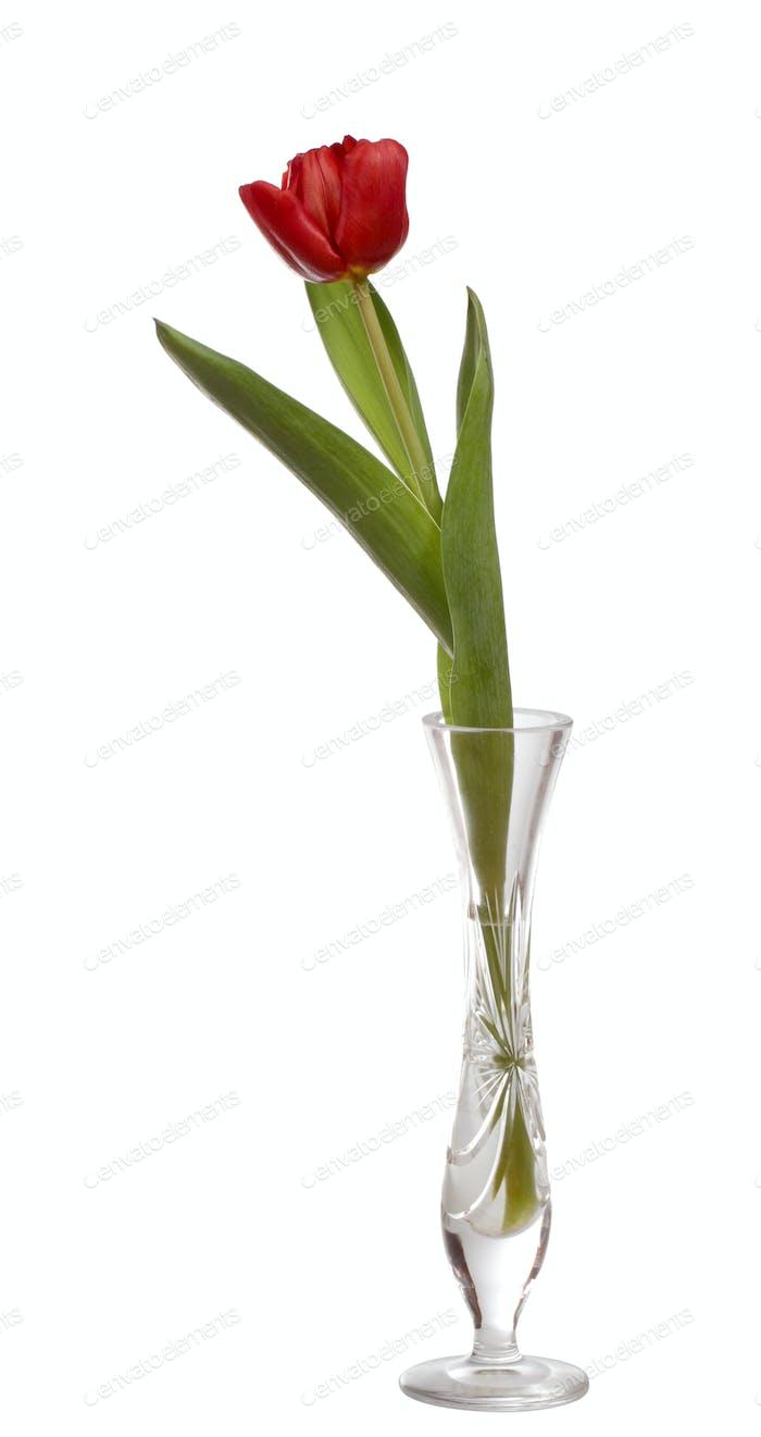 Red tulip flower in crystal vase