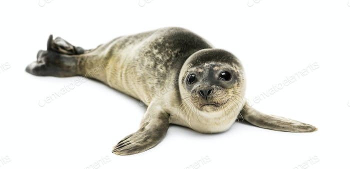 Common seal pup, isolated on white