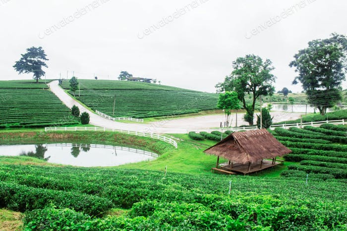 beauty of tea plantation