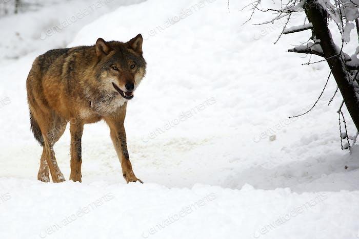 Wolf in winter