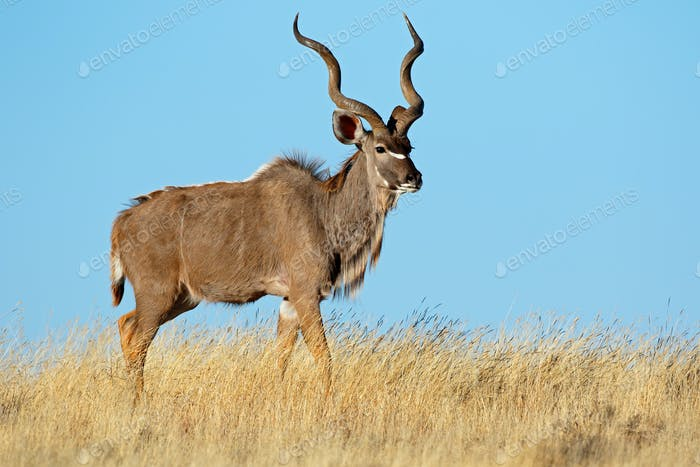 Kudu antelope against a blue sky