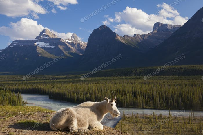 A mountain goat on rock in the Canadian Rockies, Jasper National Park, Alberta, Canada,
