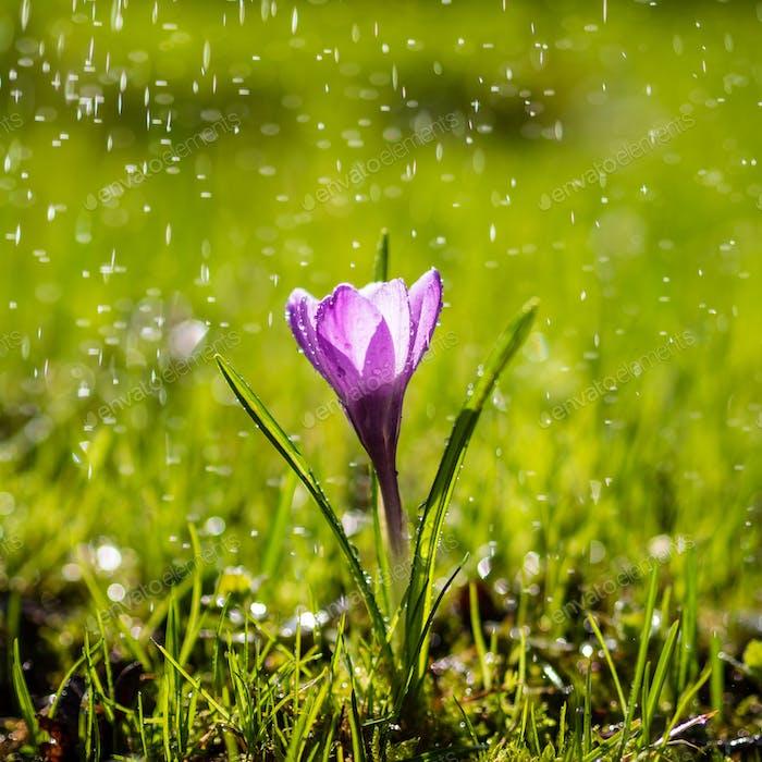 The single purple Crocus flower in drops of light summer rain