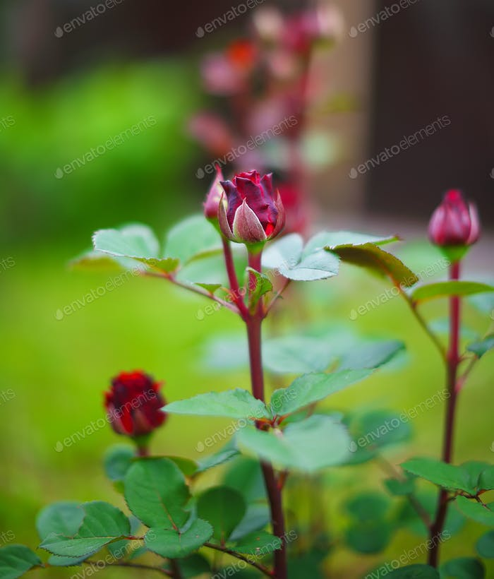 rosebuds at the garden
