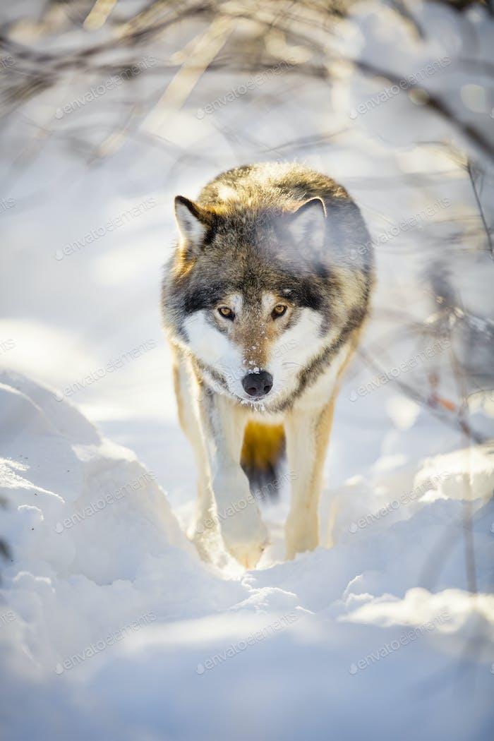 Jagd Wolf mit wilden Augen zu Fuß in schönen Winterwald