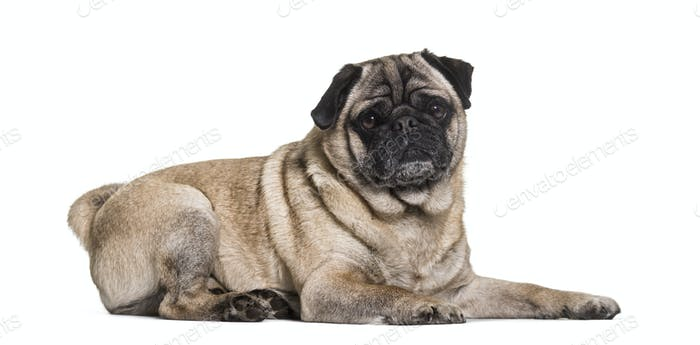Pug dog lying, cut out