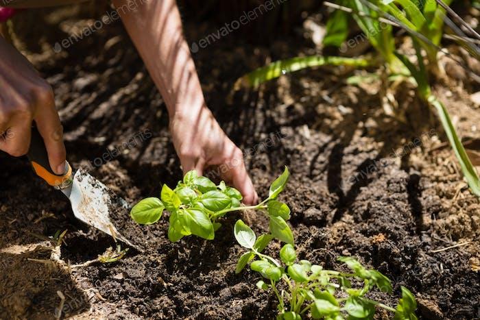 Woman planting sapling in garden