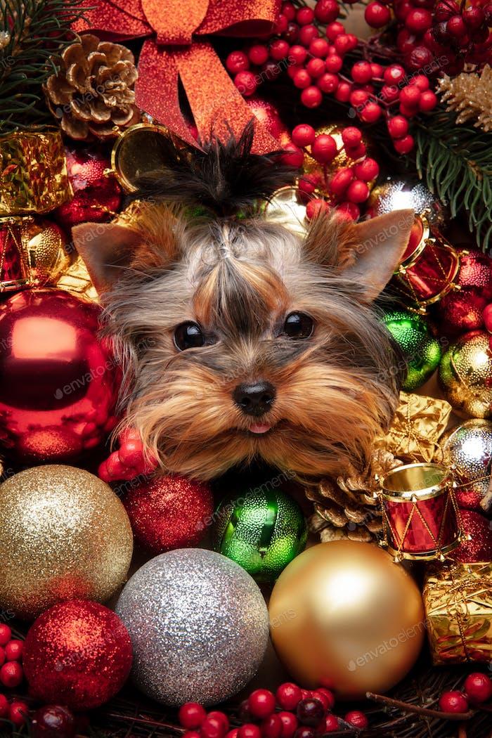 Lustiger Yorkshire Terrier Begleithund isoliert in Weihnachten und Neujahr Spielzeug und Dekoration