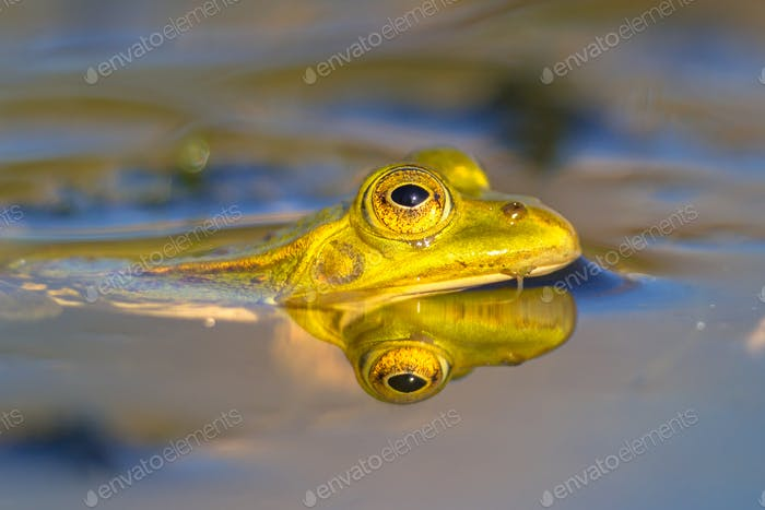Pool frog head looking from water