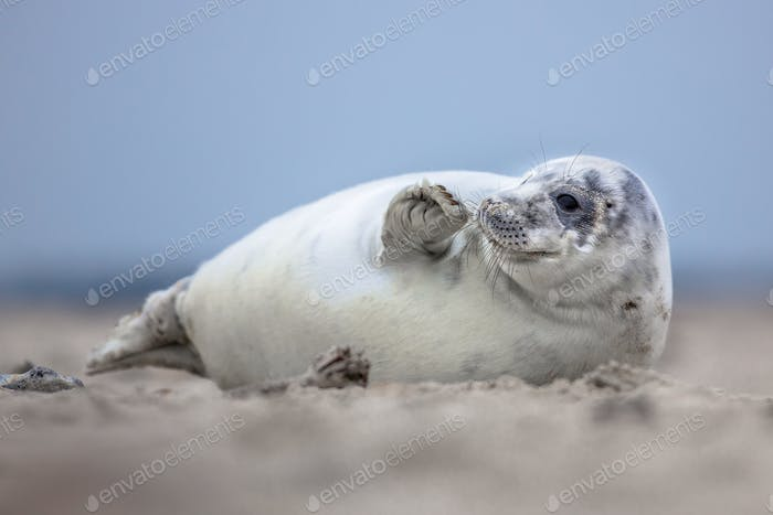 Lovely baby harbor seal