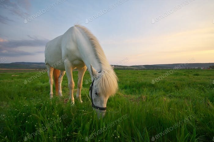 White horse on a green field.