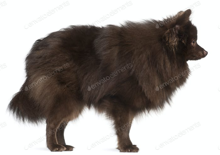 Profile of brown dog standing in front of white background