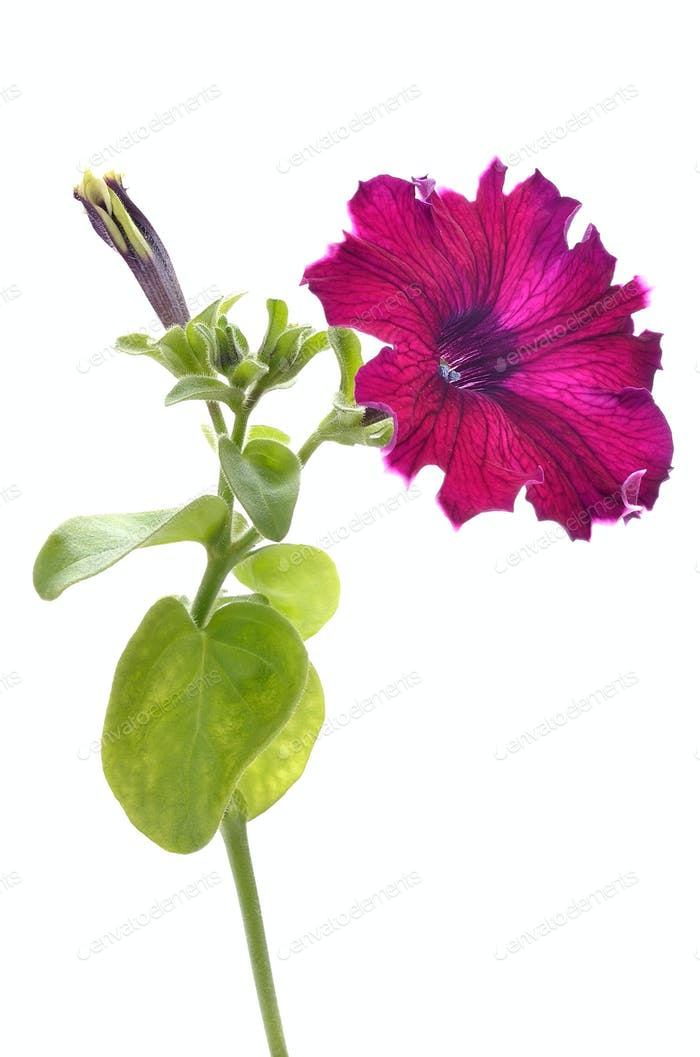 Purple petunia flower