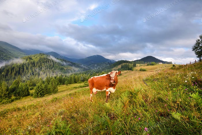 Brown cow with a white pattern on a mountain pasture. Foggy morn