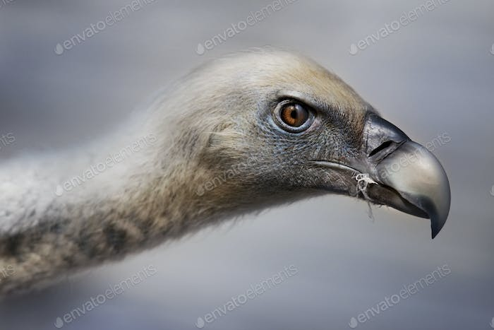 Head of a vulture